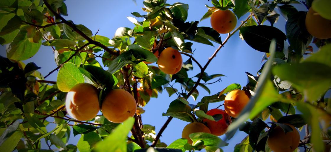 atrijski-vrt-kaki-drevo