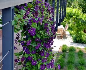 balkon-ograja-clematis