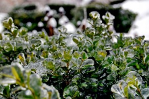 evergreen-planting-frozen-buxus