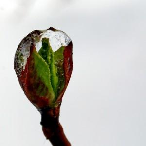 garden-planting-frozen-hydrangea