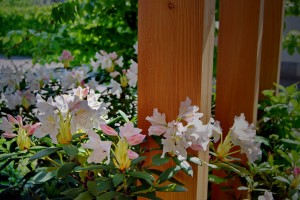 landscape-architect-rhododendron