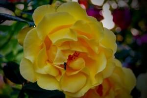 mitja-skrjanec-climbing-rose