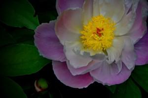 mitja-skrjanec-cvet-potonika