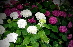 mitja-skrjanec-hydrangea-macrophylla-1