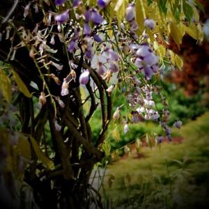 mitja-skrjanec-wisteria-chinensis
