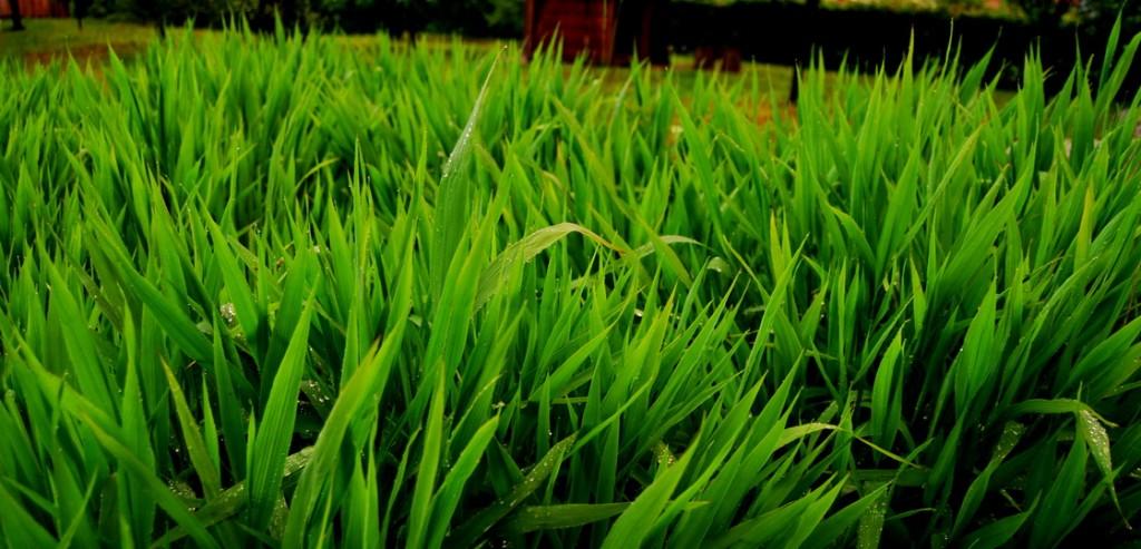 okrasne-trave-chasmanthium-latifolium