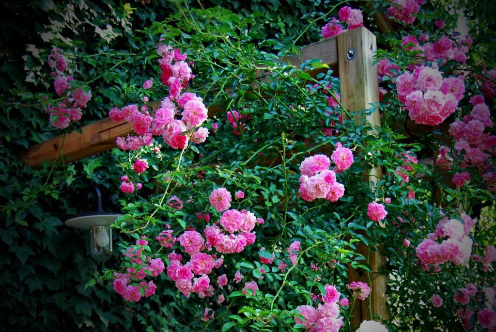 pergola in vrtnice za atelje