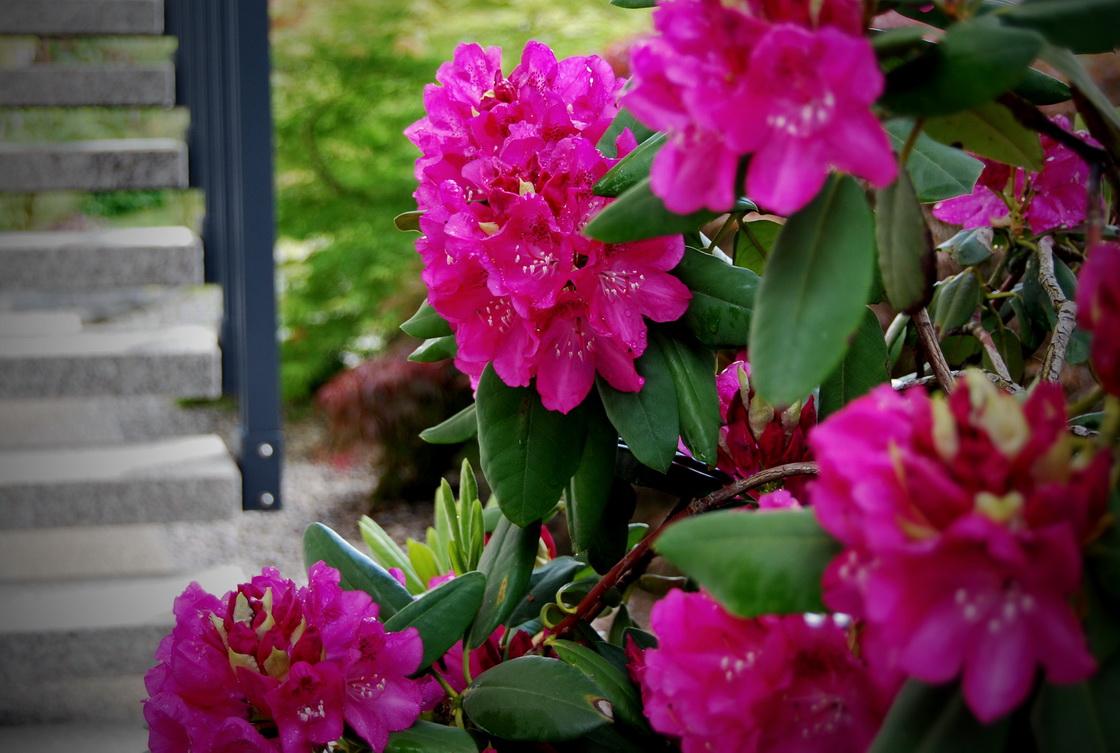 ureditev-okolice-rododendron