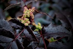vednozelena-grmovnica-mahonia