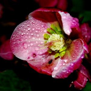 vrt-helleborus-orientalis