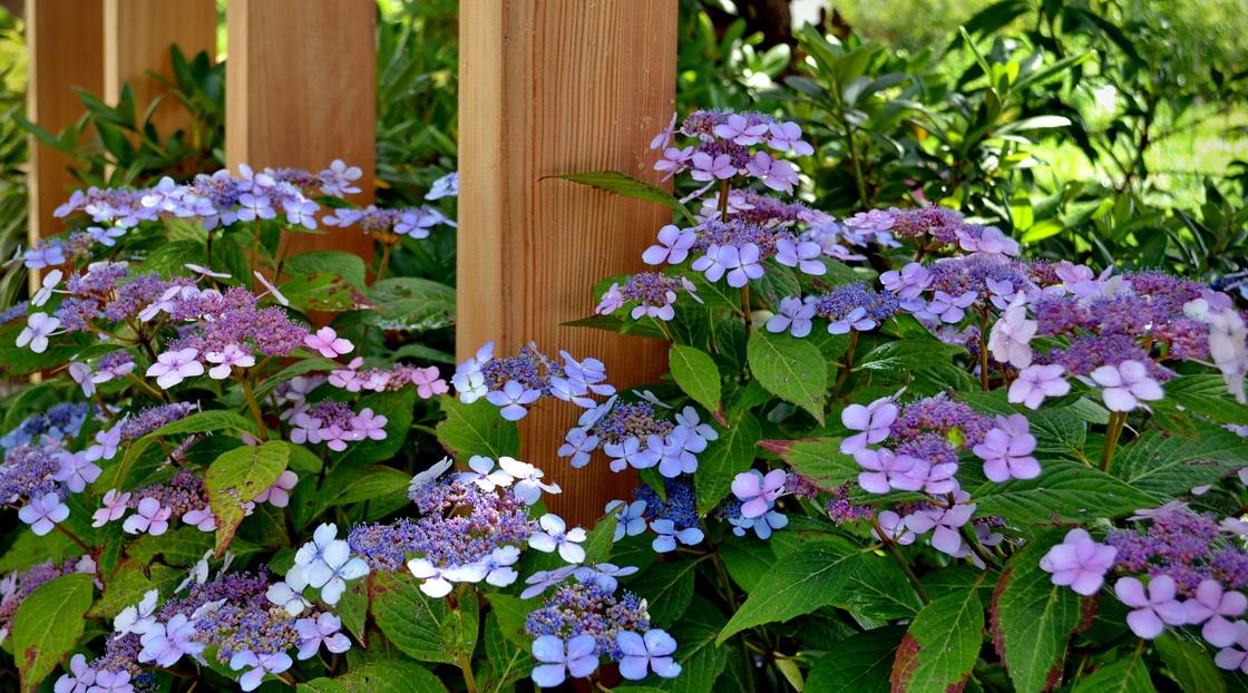 zasaditev-hortenzija-modra