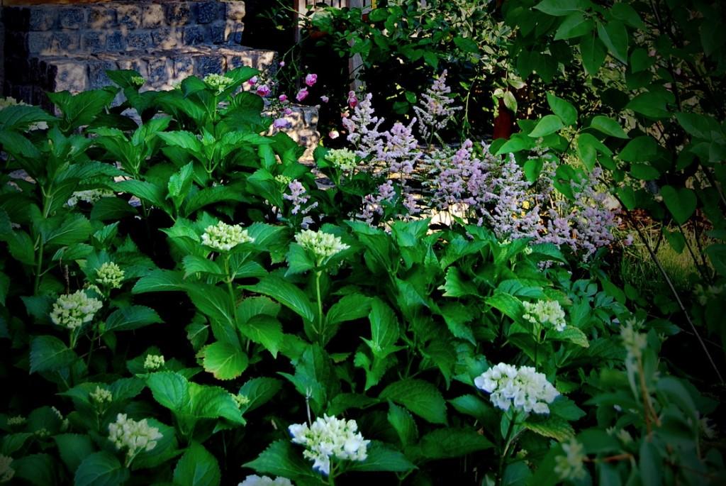 zasaditev-hydrangea-astilbe-rosa