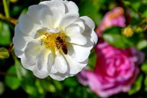 zasaditev-vrtov-cebele