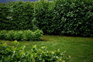 zasaditveni-nacrt-vednzelene-grmovnice