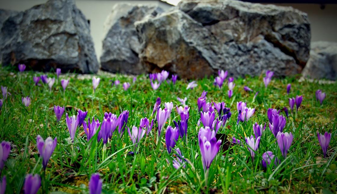 urejanje-okolice-crocus-pomlad