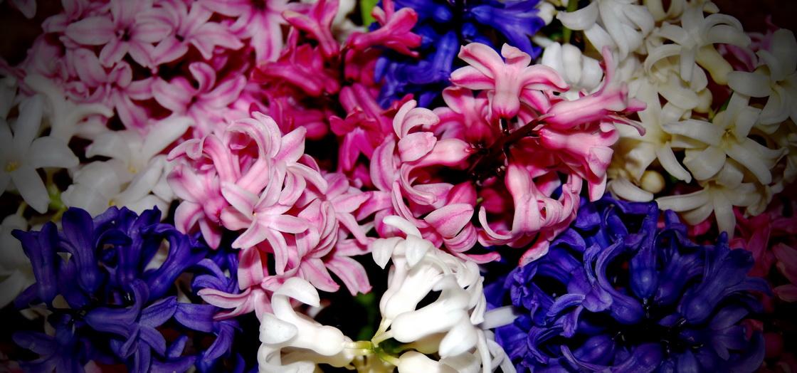 vrt-spomladi-cebulnice-hijacinte