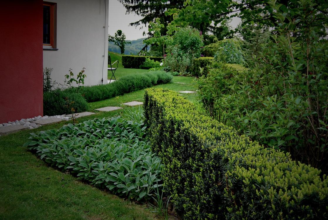 garden-planting-taxus-hedge
