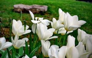 mitja-skrjanec-tulipani