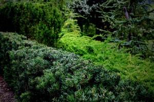 mitja-skrjanec-vednozelena-zasaditev