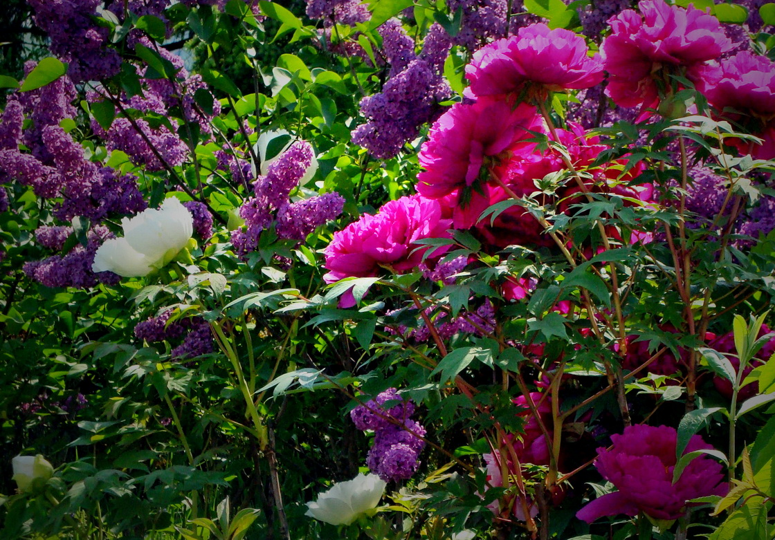 vrt-jorgovan-potonika
