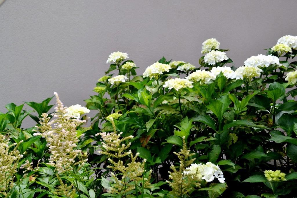 zasaditev-hortenzije-astilbe