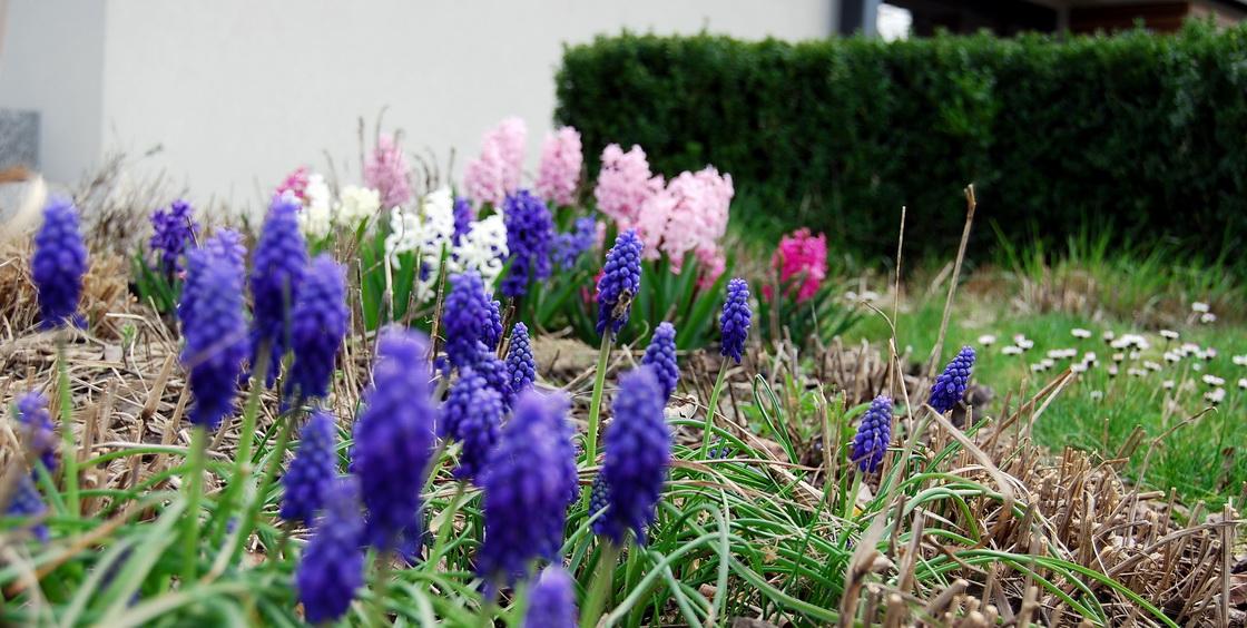 cebulnice-na-vrtu