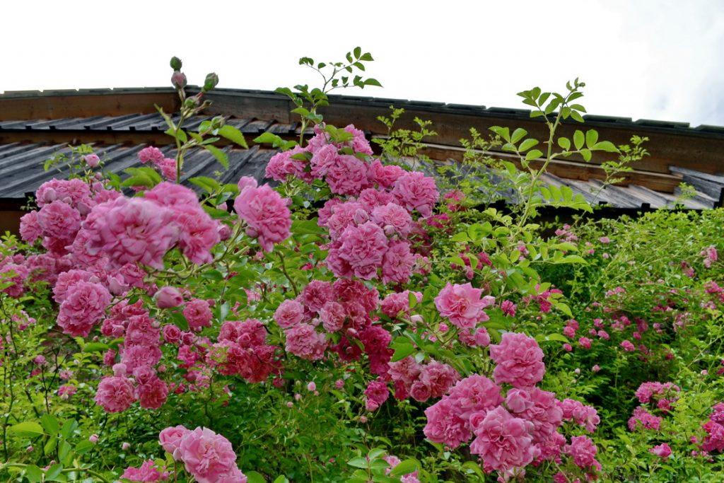 drobnicvetna-vrtnica-popenjavka